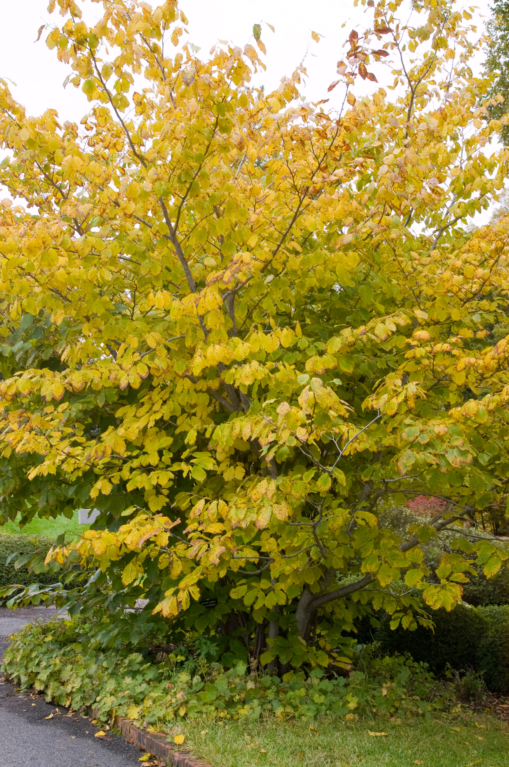 Witch Hazel Plant Library Pahl S Market Apple Valley Mn